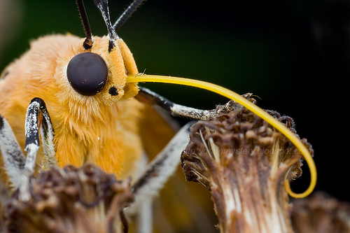 Moth Asota sp (Erebidae, Aganainae)IMG_0253 copy