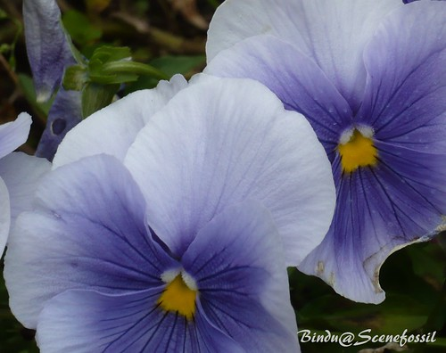 pansy 6