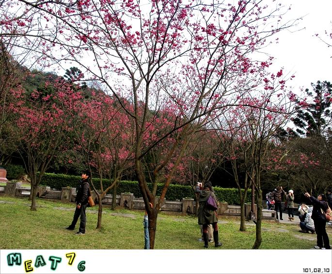 【遊記】陽明山國家公園|櫻花乍現在粉紅意境的花花世界14
