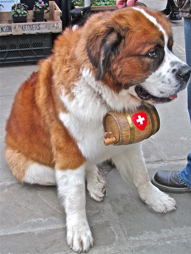 St Bernard Rescue Dog .(48/366) by Irene.B.