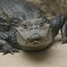 Small photo of Spectacled Caiman (caiman crocodilus), Amazona Zoo