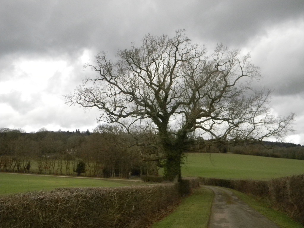 Big tree with hedge Holmwood to Gomshall