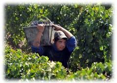 cosecha Los Andes