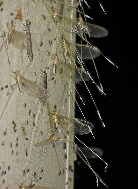 Nemia costalis (Nemopteridae)