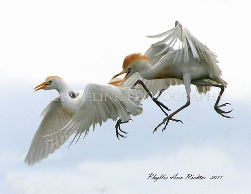 CATTLE EGRETS - WAKODAHATCHEE WETLANDS - FLORIDA - AIR ENCOUNTER IMG_0393