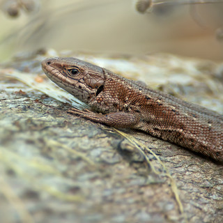 common lizard close up