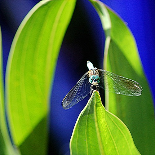 Blue Dragonfly in reflected blue pond world by jungle mama
