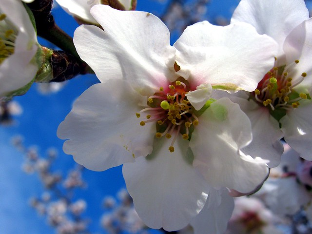 blooming almond 2
