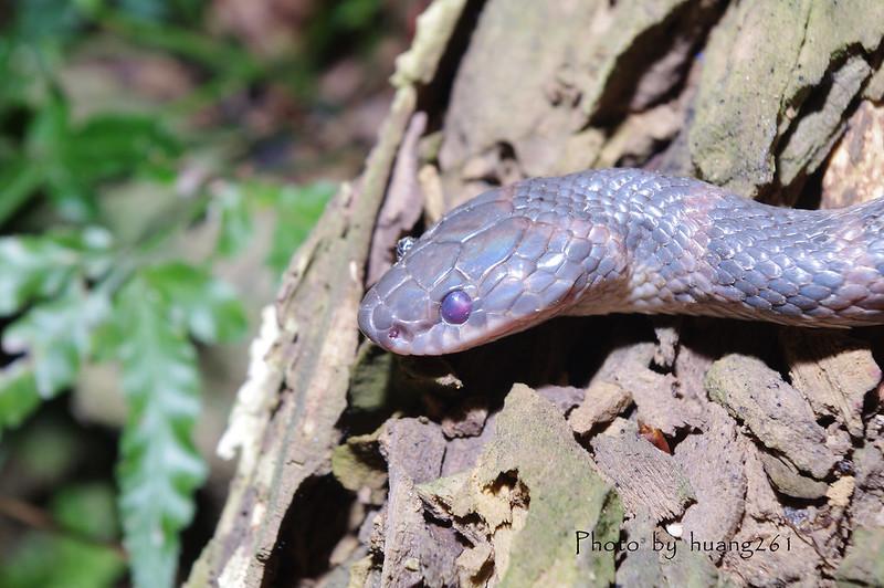 新手貼圖-幾種常見的蛇