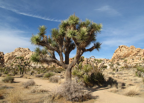Joshua trees are so funny looking