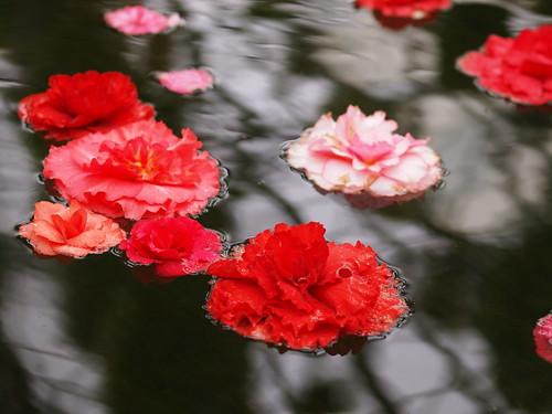 富士花鳥園 球根ベゴニア