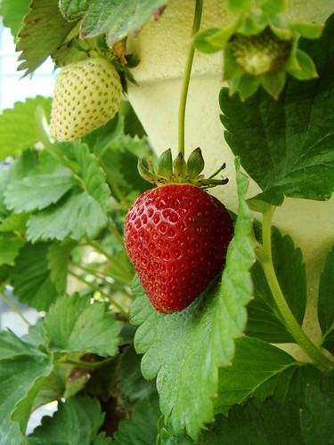 Burr's Berry Farm: Strawberries