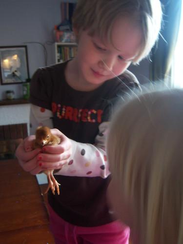 Chickens, round 2
