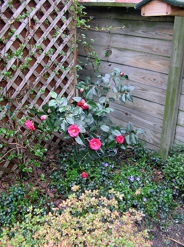 Camellia in bloom