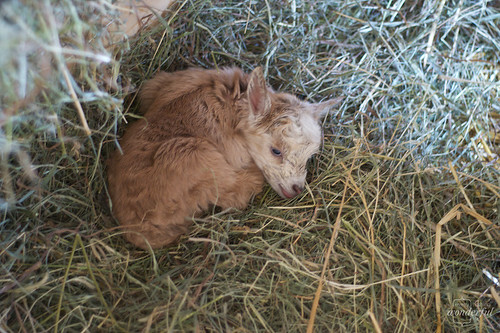 GoatSleepingBaby