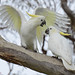 Sulphur-crested Cockatoo DSC_1925 by Mary Bomford