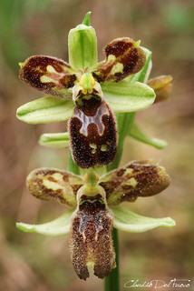 Ophrys exaltata archipelagi with three labellums