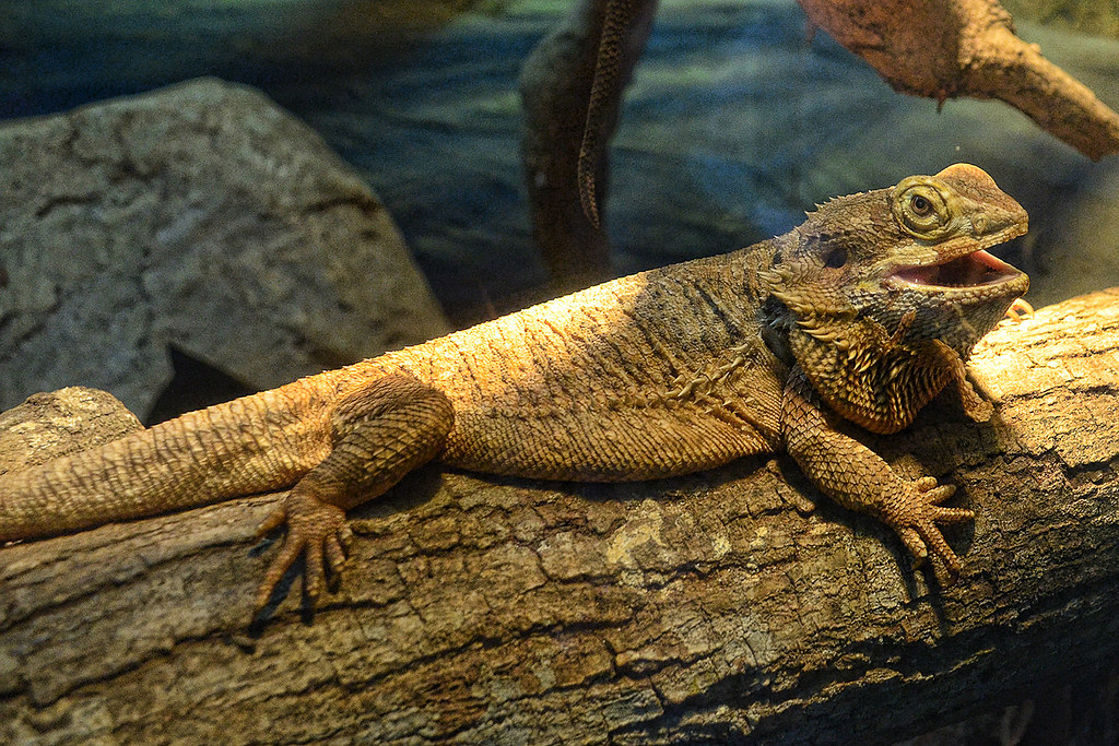 Bearded Dragon | Choo Yut Shing on flickr
