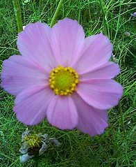 annual plant(1.0), flower(1.0), garden cosmos(1.0), plant(1.0), wildflower(1.0), flora(1.0), meadow(1.0), cosmos(1.0), petal(1.0),