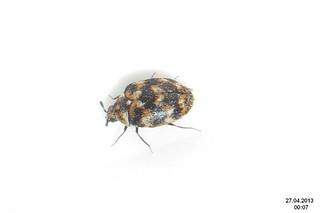 Variegated carpet beetle by davidshort, on Flickr