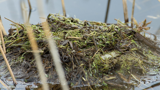 Little grebe nest