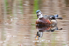 Gynandromorph Wood Duck