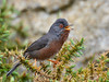 Toutinegra do Mato // Dartford Warbler