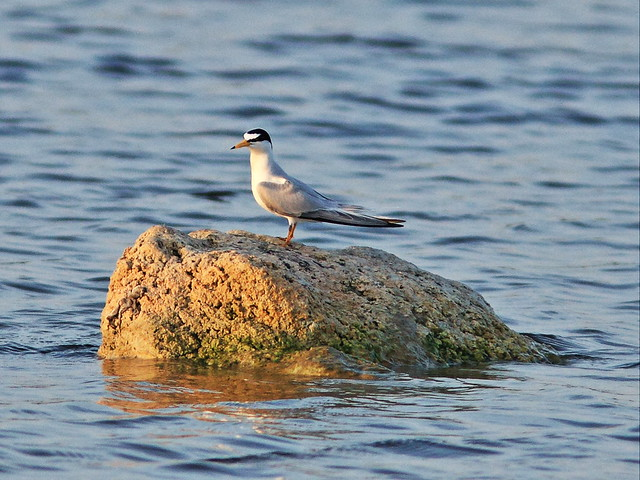 Least Tern interloper 20140407