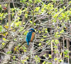 Kingfisher at Clara Vale
