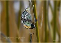 Sandia Hairstreak Butterfly photography, New Mexico Butterfly photography by Ron Birrell, DSC_8445