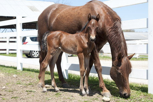 05/04/2016- Morgan filly by UC Domination out of UC Mercedes. Photo by Sarah Reed.