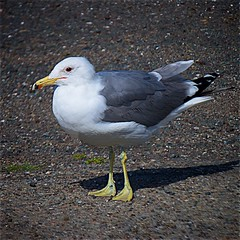 Pacific Sea Gull, Don Edwards Regional Park