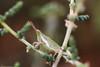 جندب grasshopper