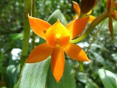 Epidendrum of Ecuador