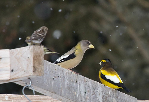 Evening Grosbeaks with a siskin and redpoll