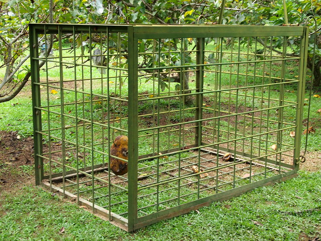 A wild boar trap baited with jackfruit at Penang Tropical Fruit Farm.