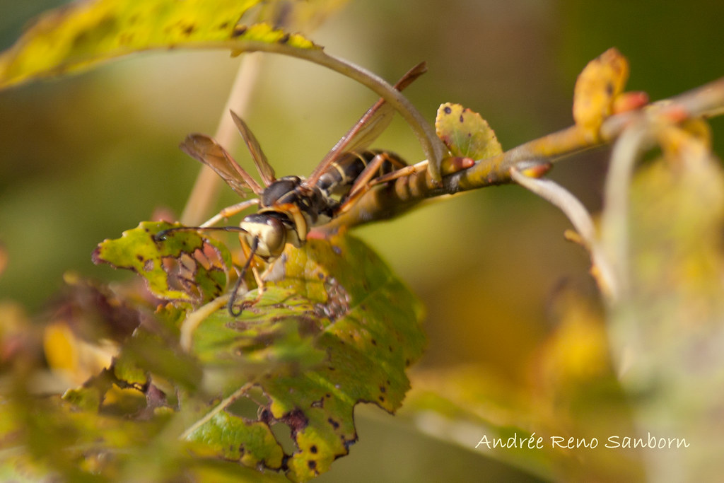 Northern Paper Wasp (Polistes fuscatus)-6.jpg