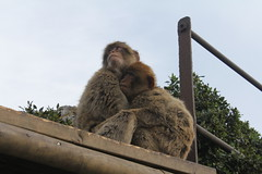 036. Barbary Apes. Top of Rock.