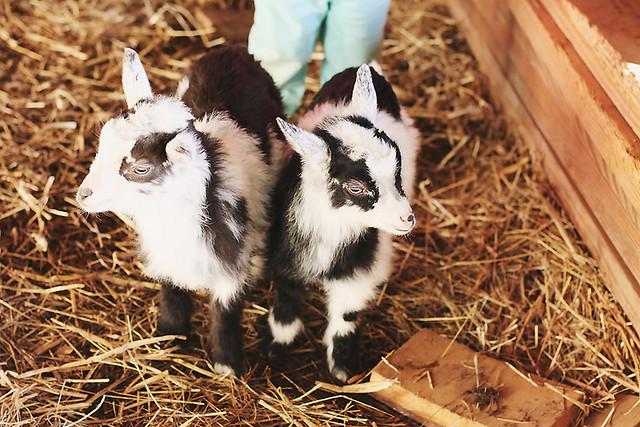 goat babies copy
