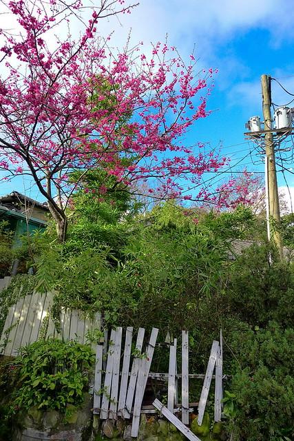 LX5之山櫻花