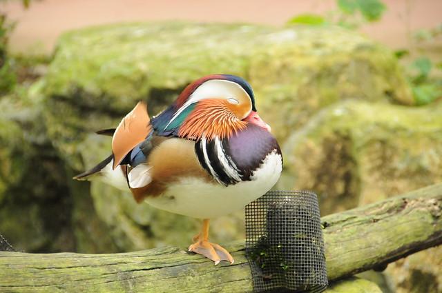寝るおしどり Mandarin Duck