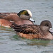 Small photo of American Widgeon male and female s
