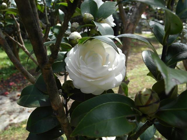 這天看到的第一朵山茶花