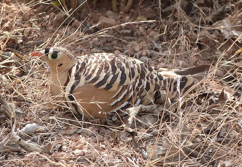 Painted Sandgrouse - Ranthambhore 3