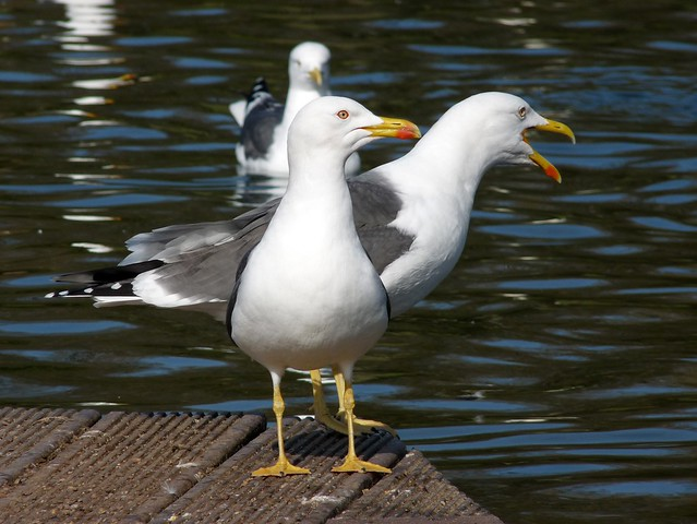 25702 - Lesser Black Backed Gull, Cosmeston