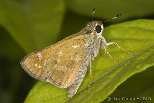 sanantonio butterfly texas skipper insecta bulverde lepidopterabutterfliesmoths photographerjaycossey