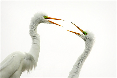 dallas texas egrets greategrets ardeaalba beautifulworldchallenges utswmcrookery
