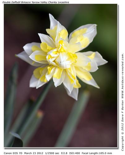 Double Daffodil Birkacre Yarrow Valley Chorley Lancashire