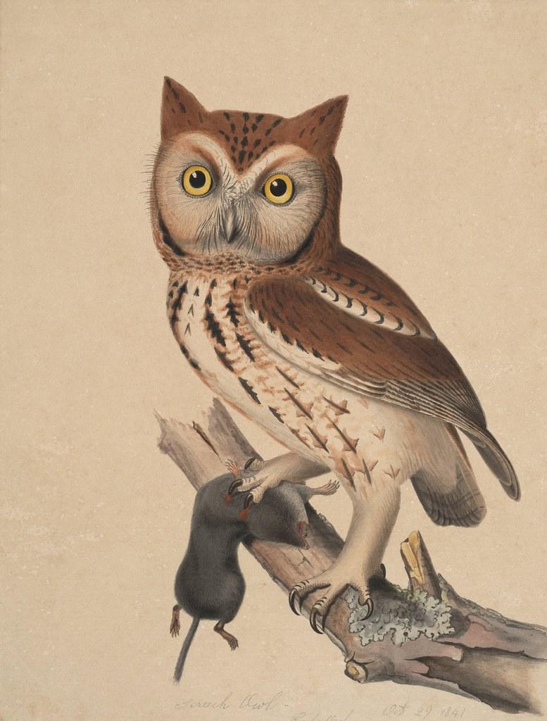 Screech owl - red owl