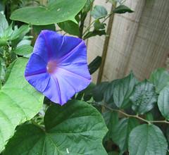 annual plant, ipomoea violacea, flower, plant, flora, petal,